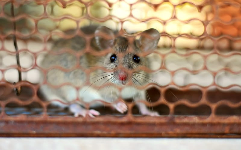 Best Insulation for Mice – Prevent Your Home From Mice